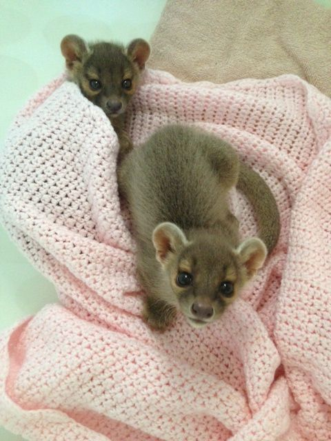 Catoctin Wildlife Preserve & Zoo - The newest additions are the Fossa pups born at this zoo 6/17/14.