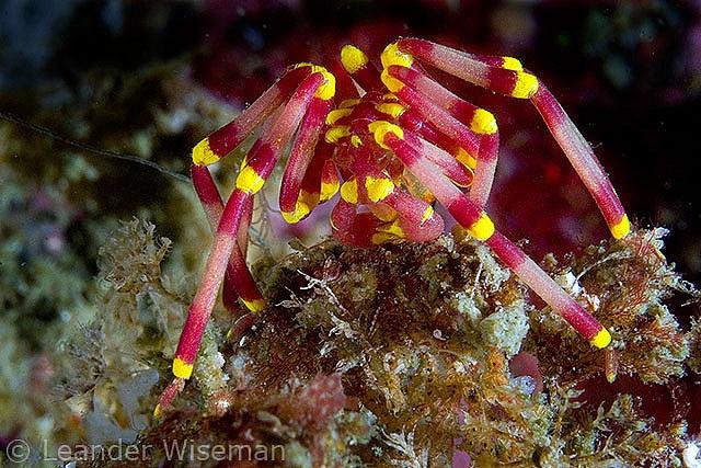 Sea Spider / Jervis Bay