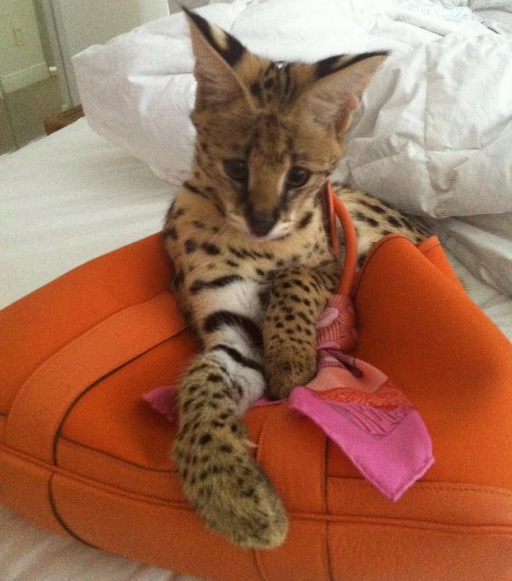 A kitten serval  (named Ziggy) in my Hermes purse!