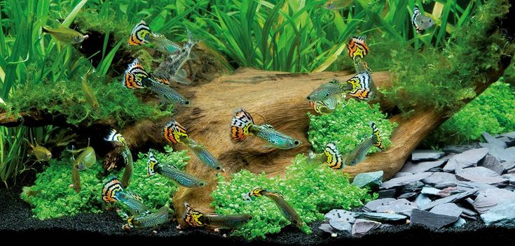 Le guppy, ou Poecilia reticulata, poisson d'eau poisson star des aquariums                                                                                                                                                                                 More