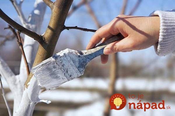 """Natierať kmene stromov bielym vápnom je priam povinnou jarnou činnosťou. Hoci na vás možno niektorí susedia zazerajú, vedzte, že tento zvyk je pre vaše stromčeky blahodarný a nevyhnutný skoro tak, ako jarné upratovanie. Prečo je to také dôležité? Stromy sú po zime trochu citlivejšie a ak náhle prídu silnejšie jarné lúče, môžu stromy """"popáliť"""". Náter..."""