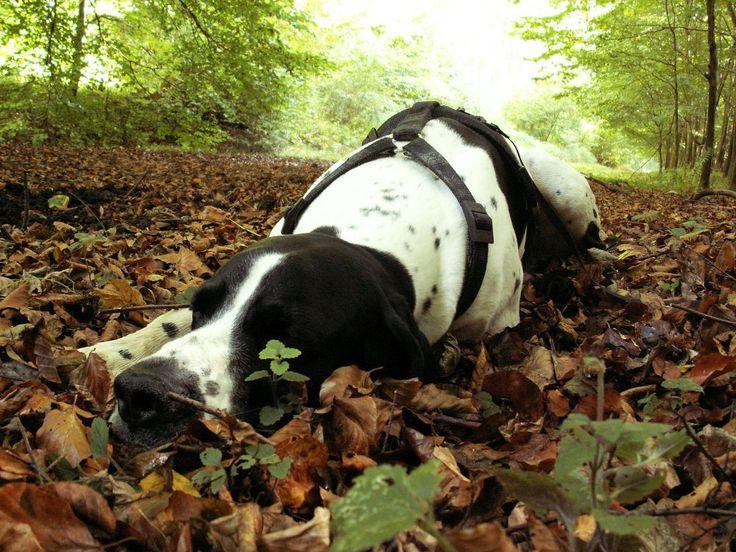 Je hond houdt van stevige wandelingen, maar vooral bij oudere en grote honden worden de gewrichten snel overbelast, met pijn als gevolg.