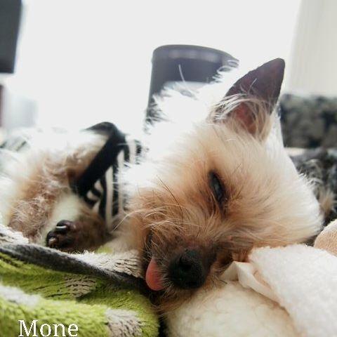 寝過ぎてる💦 * *お昼ご飯食べずに、 ずっと寝る💤 おトイレに数回起きたけど… 全く歩く気配なく寝る💤 * *また深夜の活動かぁ~ それよりご飯食べてよ~😋 * * *2017.7.24 * #犬 #イヌ #ワンコ #ペット #愛犬 #ヨーキー #ヨークシャーテリア #ヨーチー#チワワ  #pet #dog #doglife #dogstagram  #dogs #ilovemydog #Ilovedog  #dogs #yorkie #yorkshireterrier #chihuahua#chihuahualife #all_dog_japan #west_dog_japan #todayswanko  #多頭飼い #犬との暮らし #犬のいる暮らし #シニア犬 #シニア犬16歳