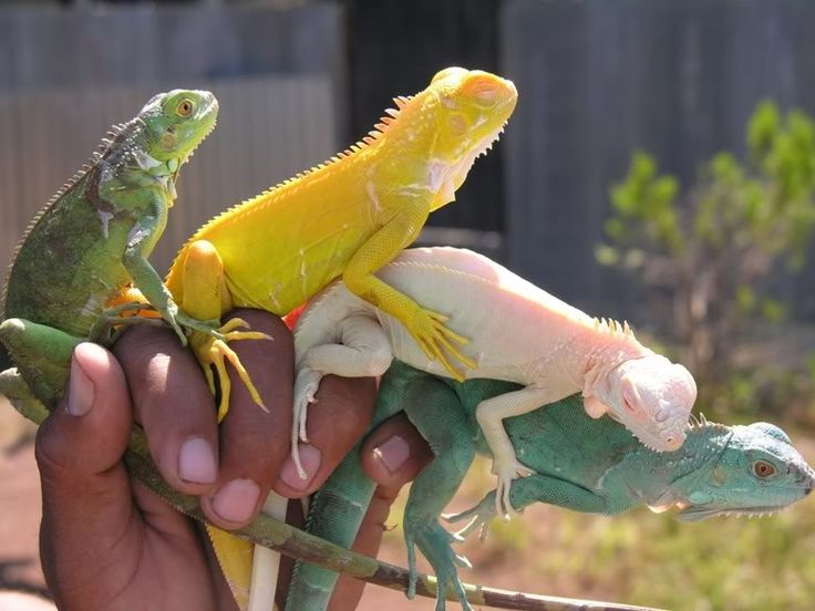 Colorful Pet Lizards Green, Albino, Albino/...