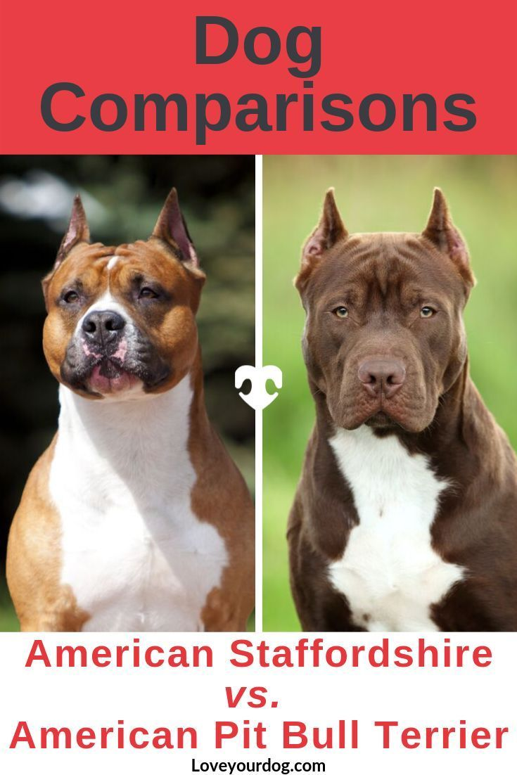 American Staffordshire Terrier Vs Pit Bulls What S The