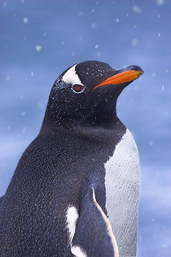 The long-tailed Gentoo penguin, Pygoscelis papua, is a penguin species in the genus Pygoscelis, most closely associated with the Adélie penguin and the Chinstrap penguin.