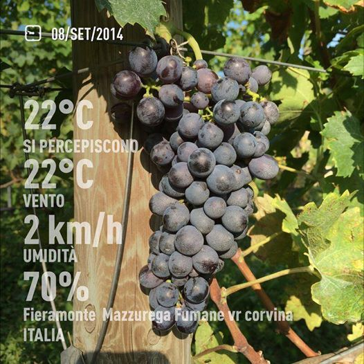 Hillside #vineyard placement with good ventilation and drainage, helps Allegrini's grapes withstand challenging weather. Our #Corvina grapes on September 8th at our Fieramonte Vineyard, in Mazzurega (Fumane), Valpolicella, Italy.