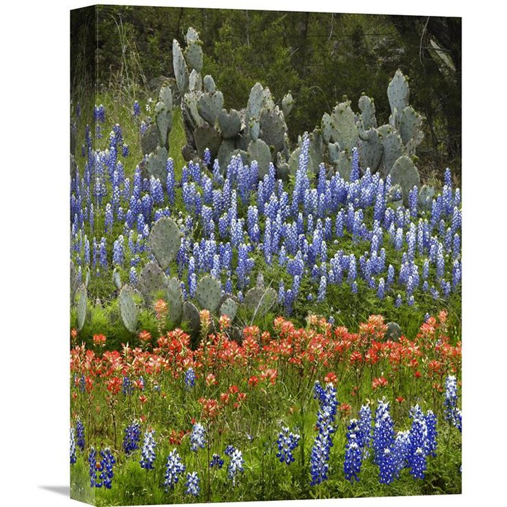 Global Gallery Bluebonnet And Prickly Pear Cactus Texas Wall Art    GCS 396137 1216