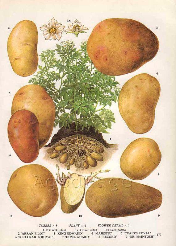 Vintage Botanical Print Food Plant Chart Art by AgedPage on Etsy $10.00