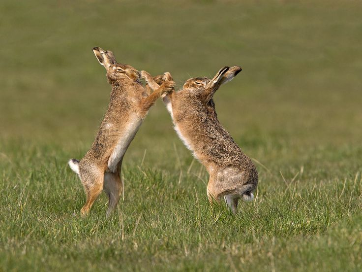 Brown Hare Boxing (2) by Robert Bannister on 500px