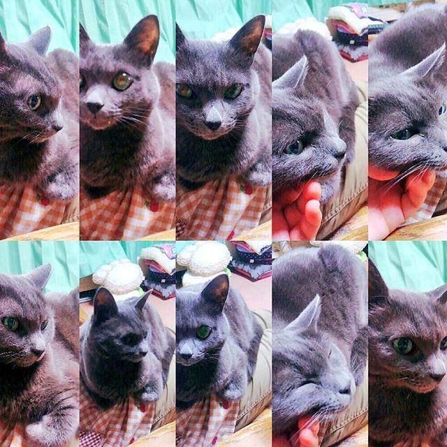 にゃんごろげ、可愛いしイケメンだしぶさいくだし、とりあえず愛してる #愛猫#シャルトリュー#三毛猫#Mix#カッコつけてるけど#元は#野良猫#雑種ちゃん#最近#よく#ついてくる#可愛い💓