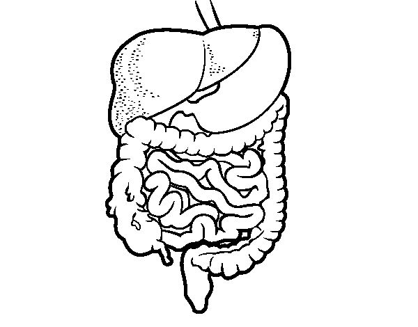 aparato digestivo para colorear - Google Search
