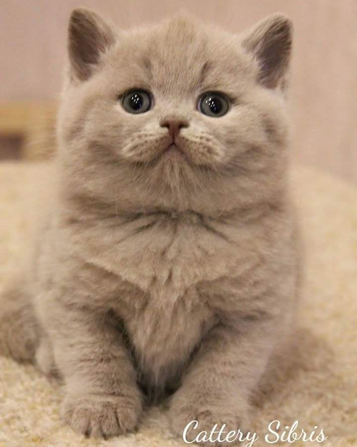 Sweet Sweet Baby Cute Cats Kittens Cutest British Shorthair Cats