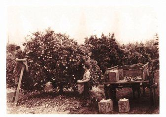 Picking Harvey fresh oranges in the early 1900's