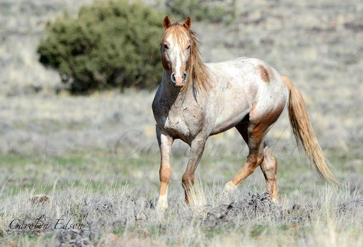 Lovely Wild Light Strawberry Roan Mustang. | America's ... - photo#35