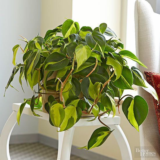 Probably the most popular houseplant in the world, heartleaf philodendron, Philodendron hederaceum, is super tolerant of dark interiors.