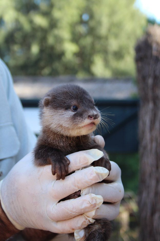 LOOK AT HER! | These Pictures Of Baby Otters Are Just Too Cute