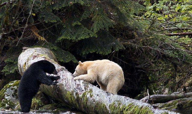 Black Bear population in Canada