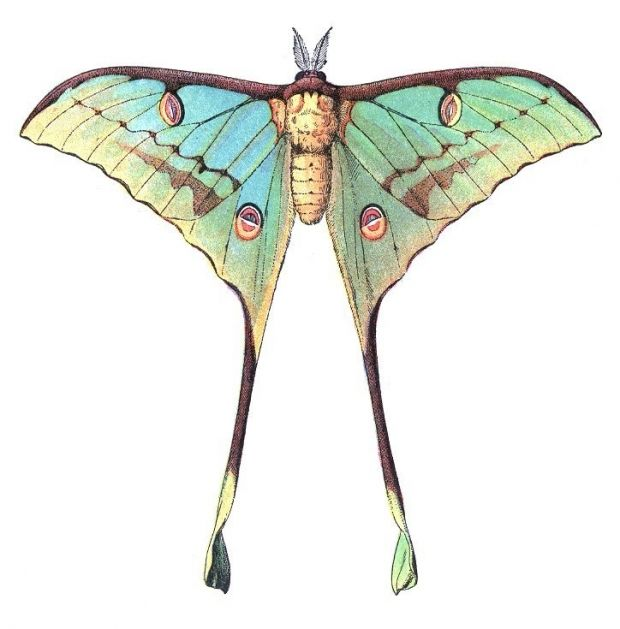 Luna moth scientific illustration - photo#26