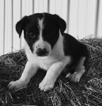 Border Collie puppy for sale in NEW BOSTON, MO. ADN-22702 on PuppyFinder.com Gender: Male. Age: 5 Weeks Old