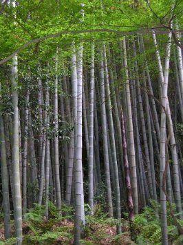 Echter Moso Bambus 100 Samen > Bis (-20C°) Winterhart >>>Erreicht eine Höhe von über 35 Meter<<< Ernte 2013 Dez
