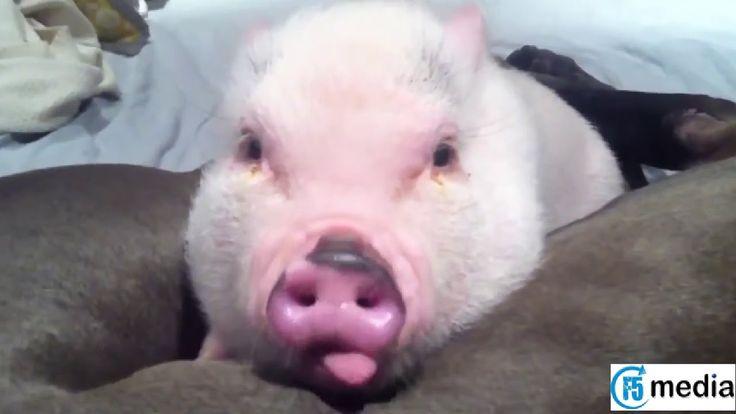 AFV Videos ► Funny Animal Videos ► Cute Pigs Compilation 2015 ► F5 Media