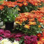 Organic Mosquito Control - how to keep mosquitoes away from your patio naturally. Marigolds help keep those pests away.