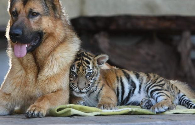 Three-month-old tiger cub Kinwah with German shepherd dog Rumble.  Mogo Zoo, Australia.