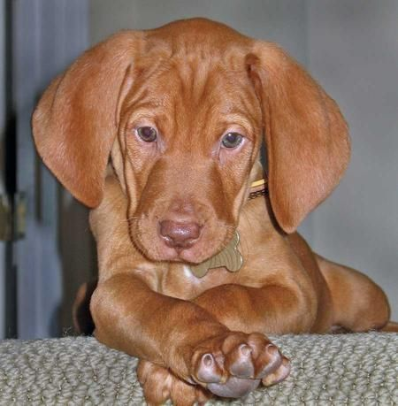 This will be my first dog, a Vizsla.  And I will name her Nike.