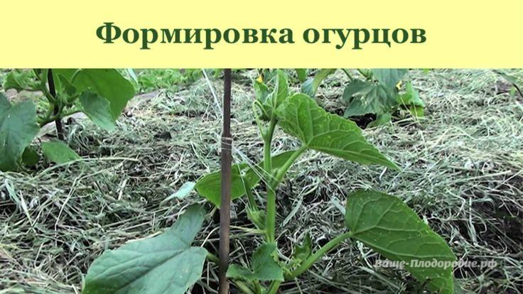 http://vashe-plodorodie.ru/ Выращивание огурцов, арбузов и дынь: рассада, полив, мульчирование, подвязка и формировка, защита от болезней. Далее про обогрев ...