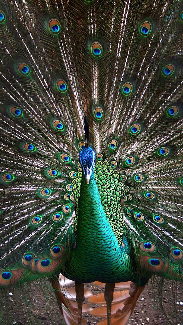 I saw this beautiful bird-like creature; So unique, it's feathers form a fan-like feature. I was surprised at the joy this brought, As my eyes just focused on this peacock. I was in a trance; feeling an aura around me; A vision forever to be in my memory!