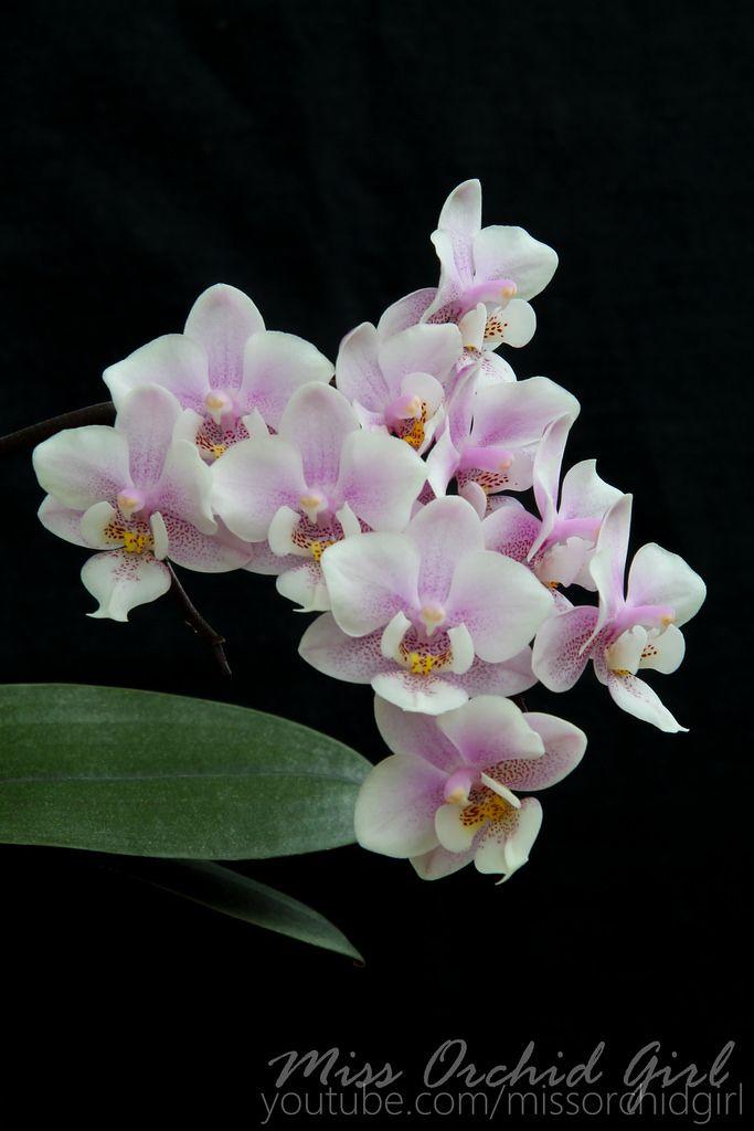 Phalaenopsis Jiaho's Pink Girl - Google Search