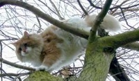 NORUEGO DE BOSQUE Norwegian Forest Cat Se tienen noticias de su existencia desde muy antiguo, se le cita en la mitología noruega y aparece como protagonista de cuentos escritos desde 1837.  La raza fue reconocida en 1930.