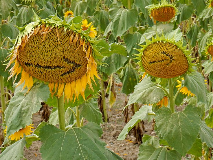 Arrows in the sunflowers on the Camino de Santiago © Samantha Hussey