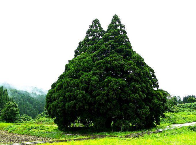「トトロだ!」思わず声が出る。山形県鮭川村「小杉の大杉」を見に行こう   山形県   Travel.jp[たびねす]
