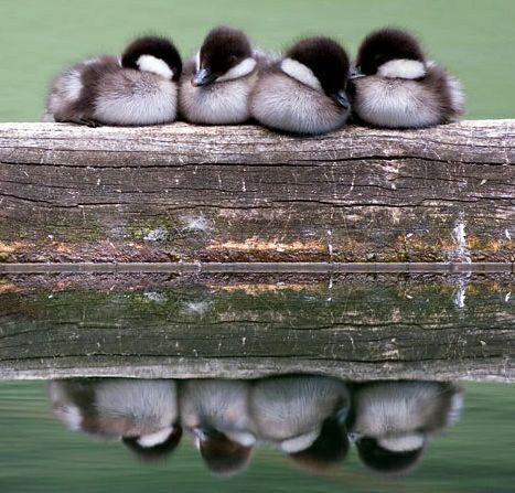 Cute Ducklings Sleeping