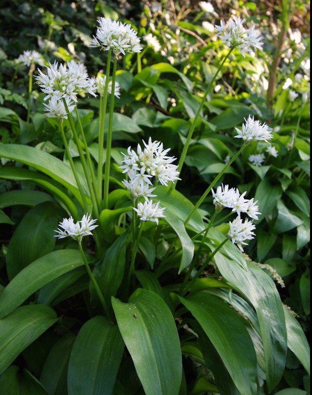 True European Ramsons Wild Bear S Garlic Allium Ursinum 50 Seeds Shade Garden Garlic Flower Sacred Plant