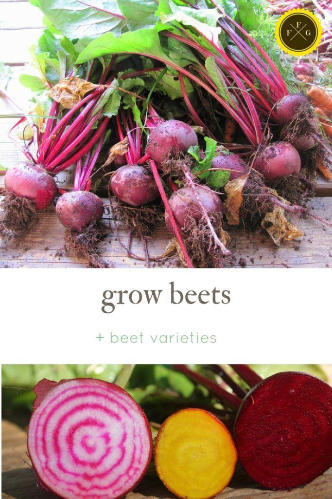 Learn How To Grow Beetroot Beet Varieties Growing Beets Food Garden Beet Plant