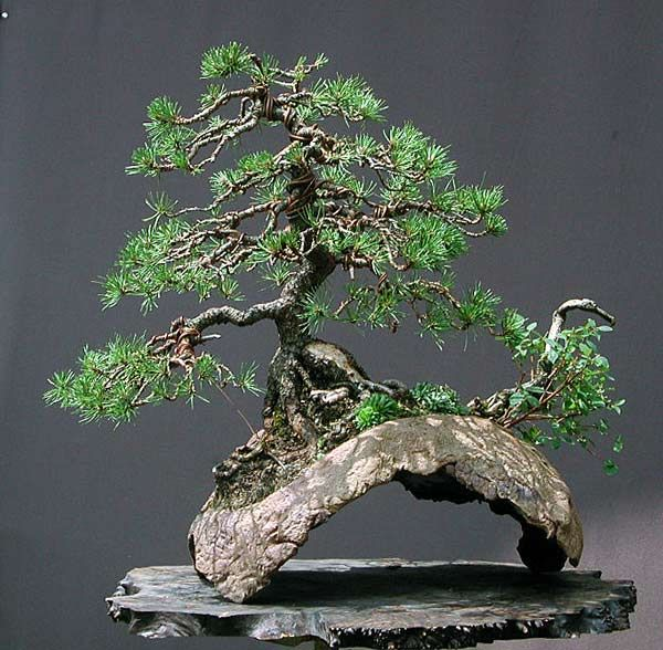 Unique bridge pot highlights the raft style this tree for Rare bonsai species