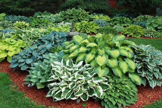 Love the contrasting hosta colors but looks too packed in and over-planted to me KG