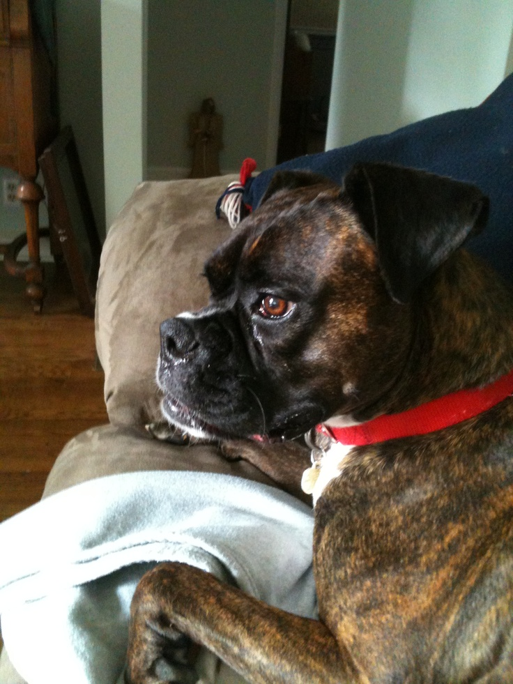45 best images about boxers on pinterest chihuahuas for Brindle boxer