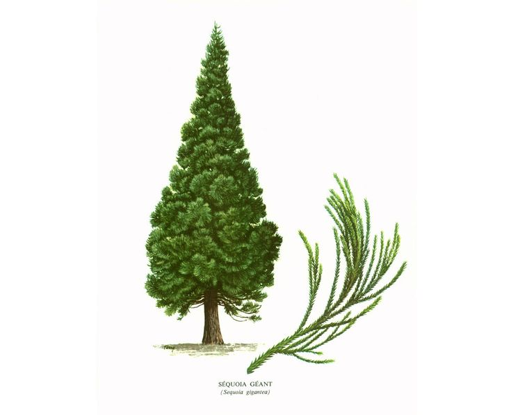 1967 Sequoia  Geant sempervirens. Planche Botanique Arbres Forets Coniferes Histoire Naturelle Dendrologie de la boutique sofrenchvintage sur Etsy