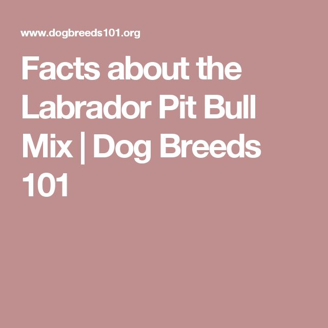 Facts about the Labrador Pit Bull Mix | Dog Breeds 101