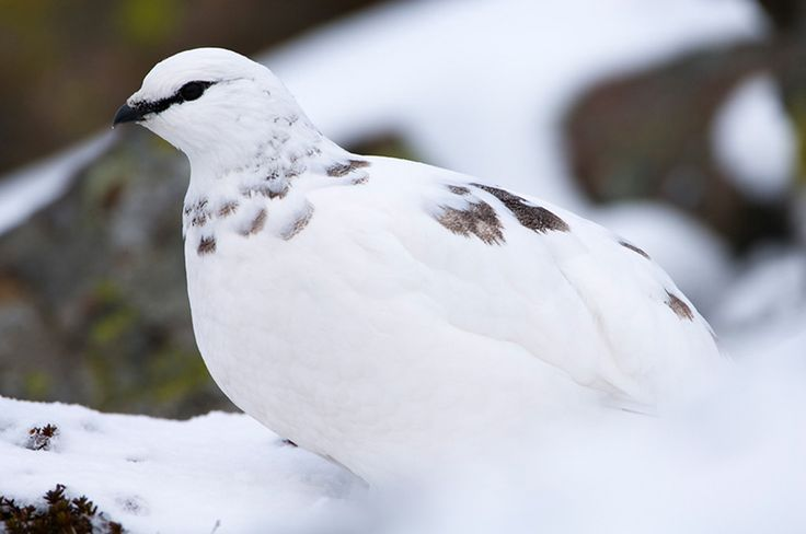 A male ptarmigan (Lagopus mutus) in its winter plumage, Cairngorms National Park, Scotland.