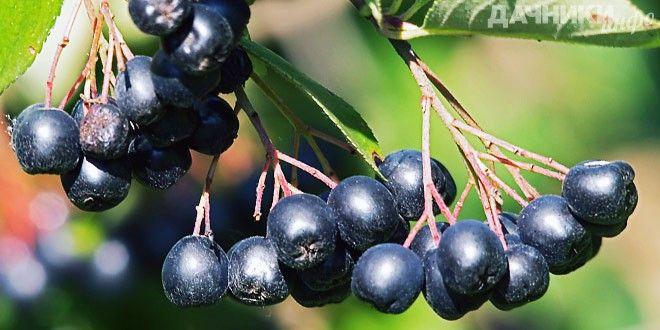 Целебные свойства аронии или черноплодной рябины - Подробности…