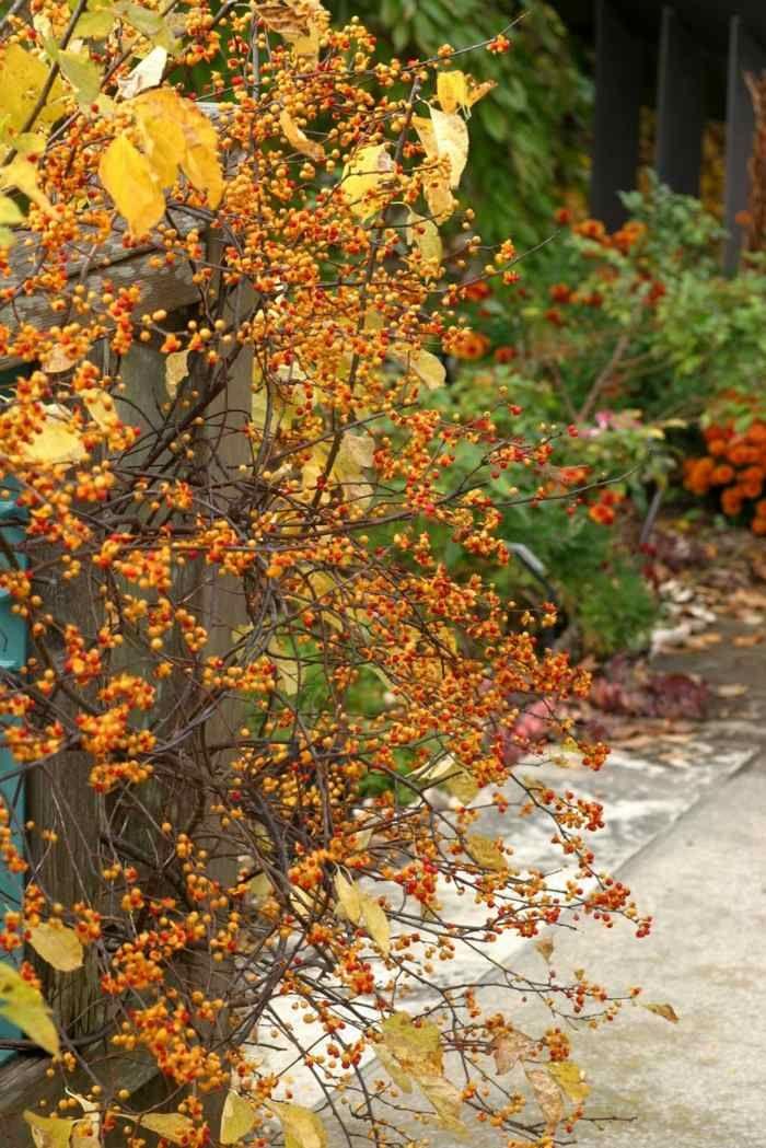 idée de plantes d'ombre - le Celastrus orbiculatus à fruits orange