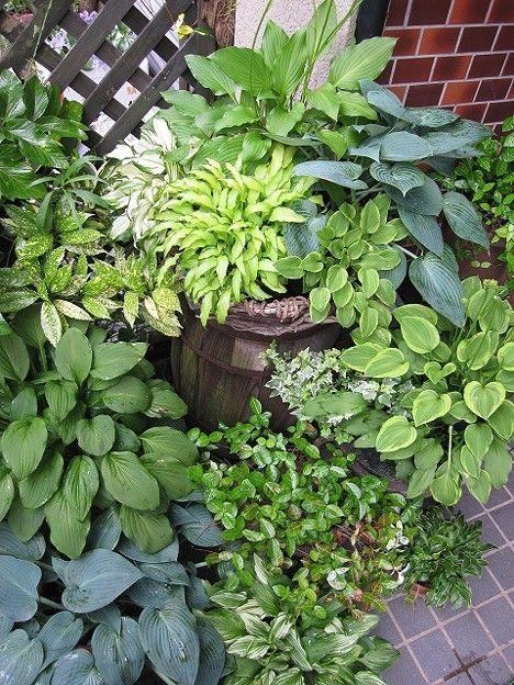 写真: 玄関前ギボウシの寄せ植え