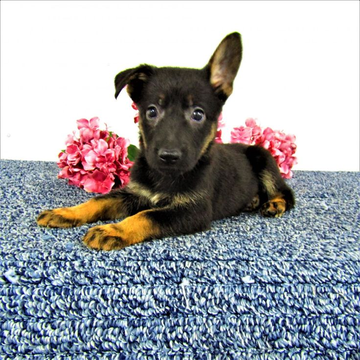 to Indiana German Shepherds Dogs, Large dog
