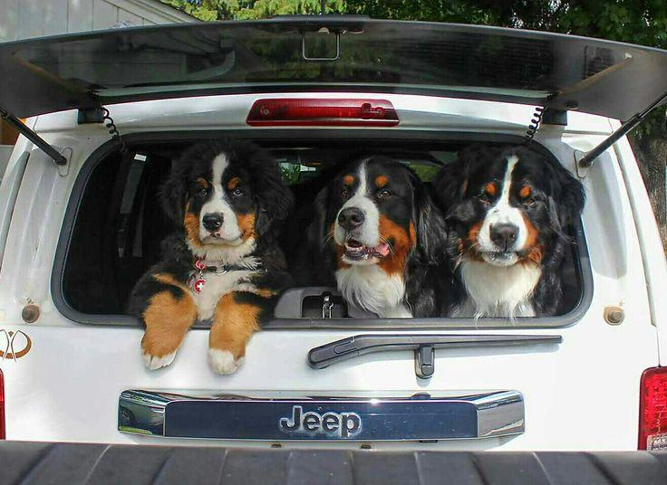 Best Bernese Mountain Dog Chubby Adorable Dog - 92bbb5c7e9bc92c930fe354f349358d8--berner-sennenhund-bernese-mountain-dogs  Pic_479112  .jpg