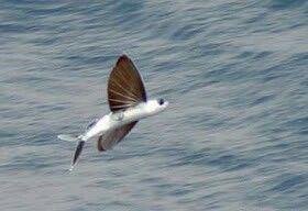 Interés Flying Hechos y Fotos de peces  Flying peces es familiy de peces marinos que consta de cincuenta especies con alrededor de siete a nueve géneros.Los peces voladores se pueden encontrar en casi todos los océanos del mundo, especialmente en las aguas tropicales y sub-tropicales del Índico, Pacífico y AtlanticOceans
